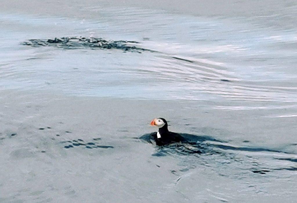 ein Puffin im Ozean