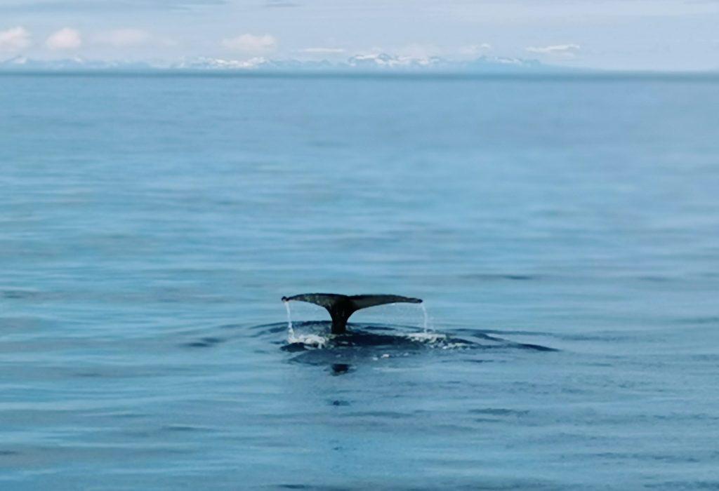 Die Flosse eines Buckelwals